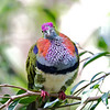 A seriously pretty male Superb Fruit-Dove.