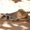 This sleepy Meerkat found a nice shady spot to have a nap.
