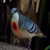 A cute dove of some description.