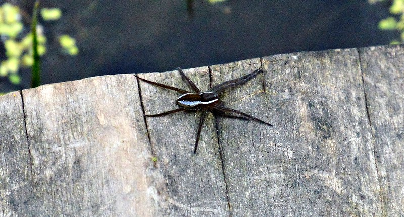 Six-pointed fishing spider