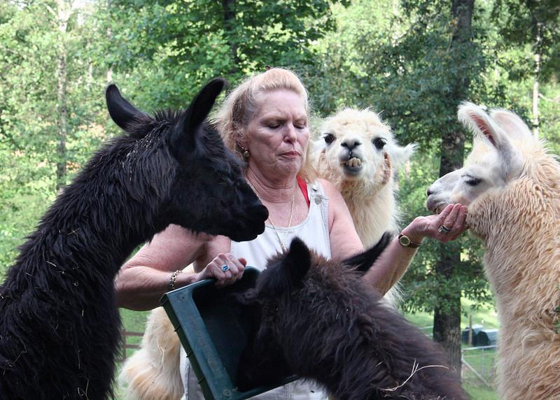 Pam feeding llamas