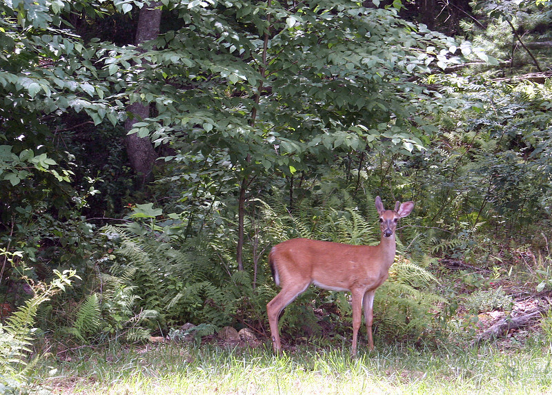 We see all sorts of wildlife on the property.  Here is a deer that stopped by to visit.  There are also lots of wild turkey, squirrels and many varieties of birds.