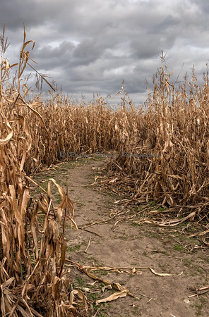 Corn Maze No 2