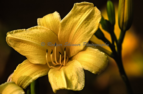 Yellow Tiger Lily