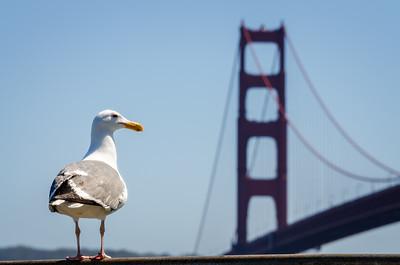 Gull at The Golden Gate Bridge, San Francisco, California