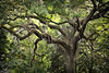 Live Oak & Spanish Moss