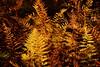 Fall-cinnamon fern