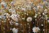 Fall-cottongrass field