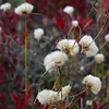 Cottongrass and Huckleberry 2
