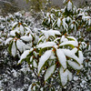 Fresh Snow on Mountain Laurel