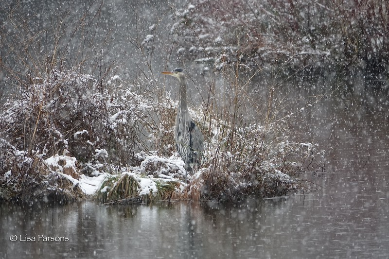 Heron in Meadowbrook Park