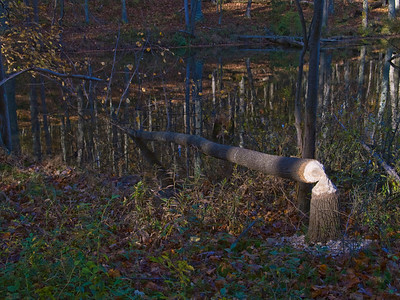Frech evidence of furry lumberjacks at Clopper Lake