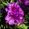 Azaleas blooming in the spring