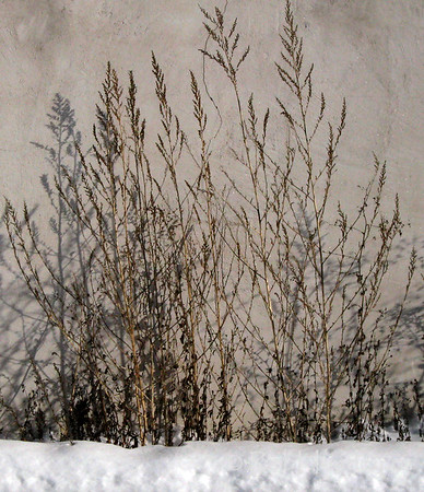 Westboro Wall Weeds in Winter.  © Rob Huntley