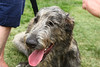IMG_1902 LR (Irish Wolfhound)