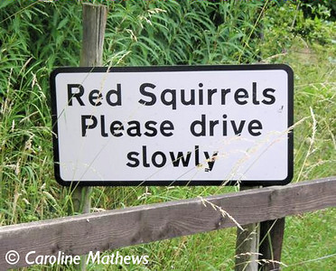 Slow Red Squirrels