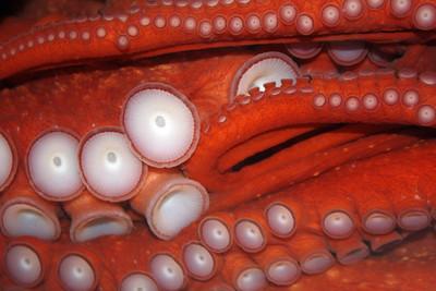Octopus as Modern Art