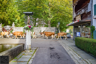 Twice a day the cows walk through the town of Stumm, Austria.