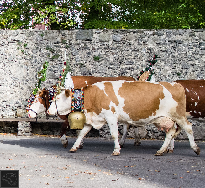 The village cows dressed for the day's weddings in Stumm, Austria.