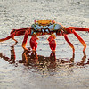 Sally-Go-Lightly Crab