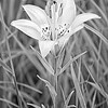 The western red lilly (Lilium philadelphicum), also known as the wood lilly or prairie lilly