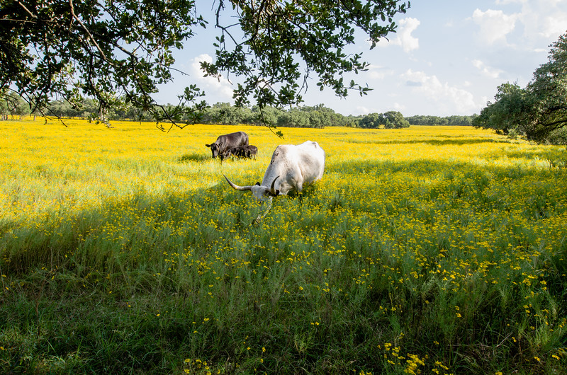 Grazing cattle in yellow flowered meadow.