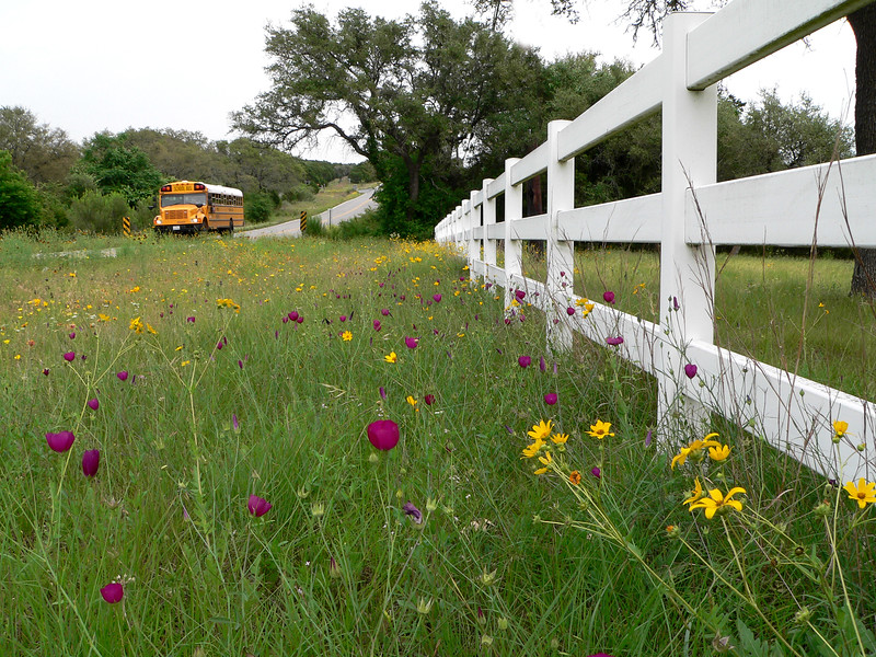 Country road with school bus, wild flowers and white fence in Dripping Springs, Texas.