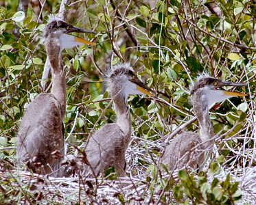 Great Blue Heron Chicks (Color)