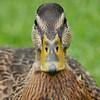 Duck_10-08-09_0013