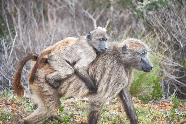Mother Chacma baboon carrying her young.
