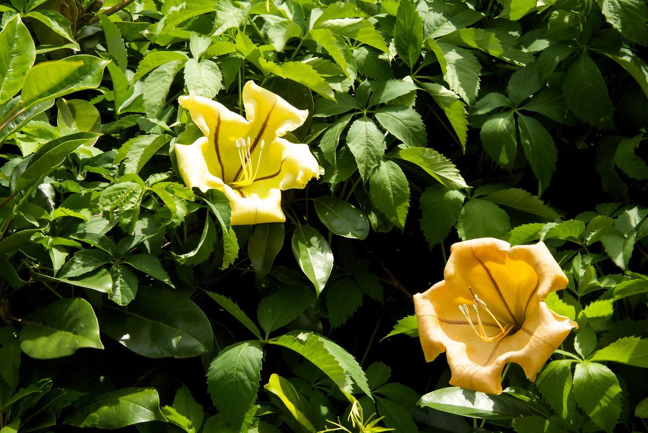 Celandra Maxima Flower