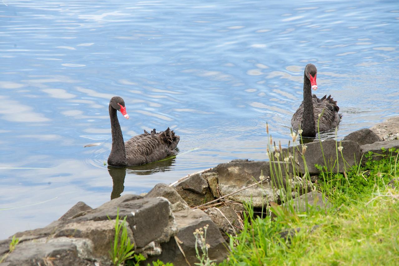 Black Swans on Lake Pupuke