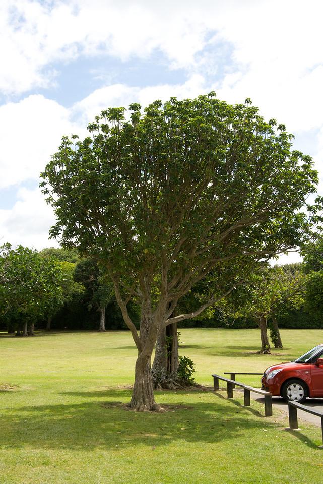 Puriri (Teak) Tree