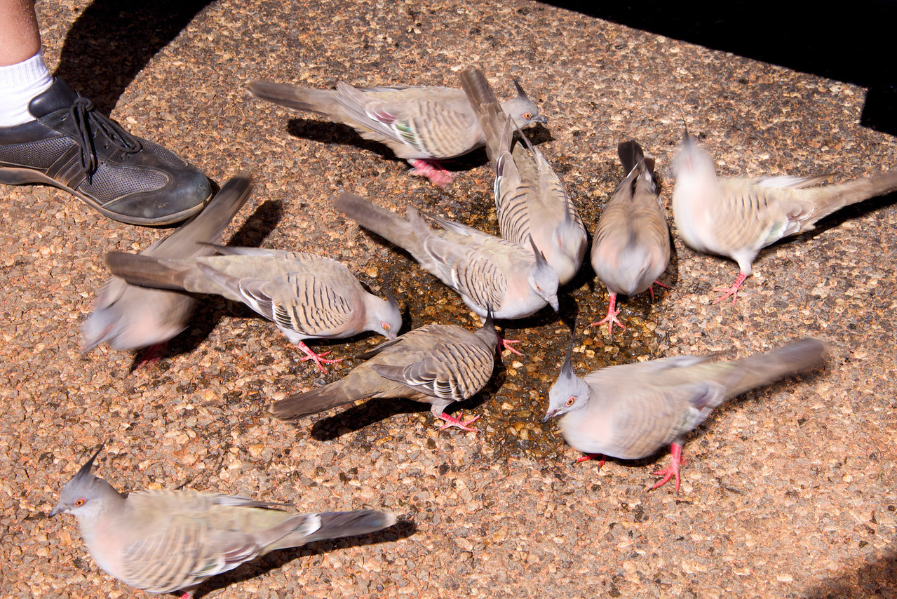 Crested Pidgeons-Went to Back of Bus Looking For Water From Air Conditioning-Driver Gave Them Water From Our Supply