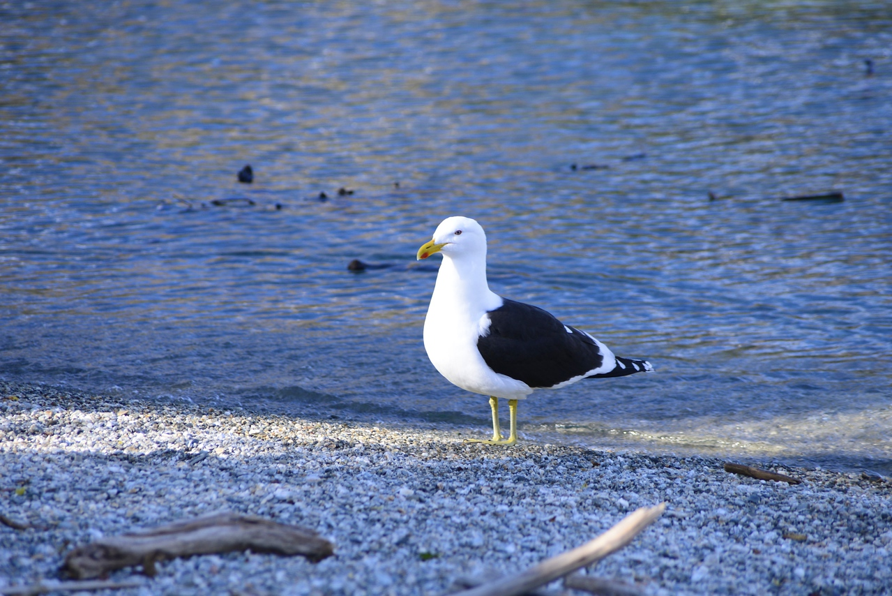 Seagull on Shore of Queenstown Gardens