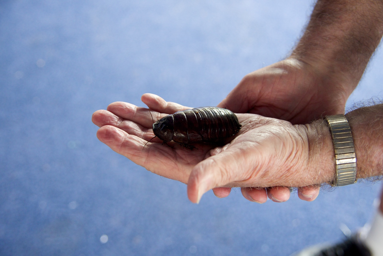 Giant Burrowing Cockroach, Native To Australia