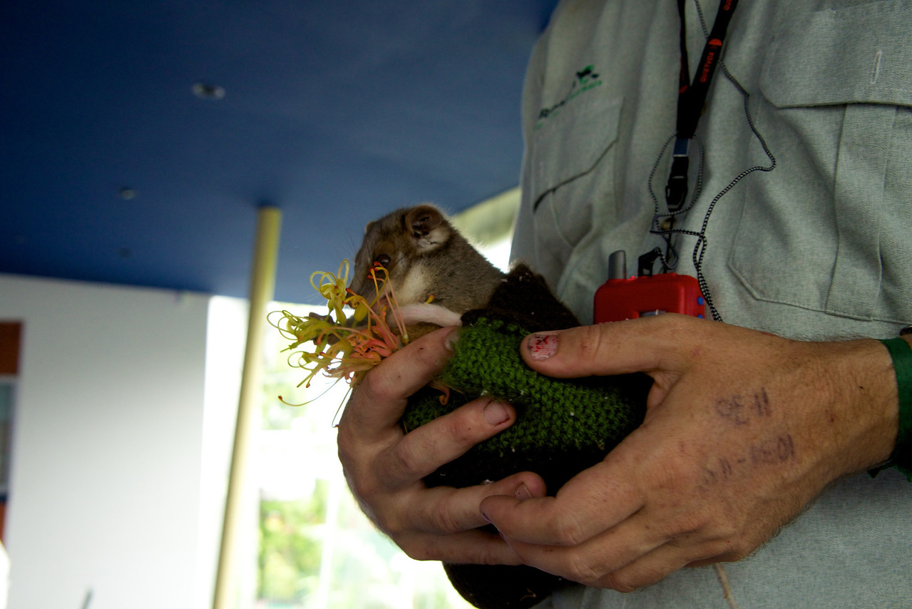 Baby Ring Tail Possum-Adults Are Often Road Kill-Zoo People Check The Pouches for Babies
