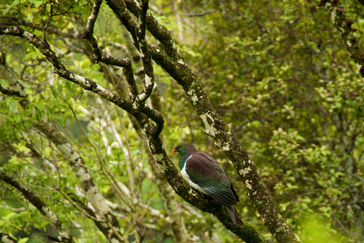 Kereru, Wood Pigeon-4x Weight of Street Pigeon-Huge Dipping Glides Up and Down to Show Off For Its Mate