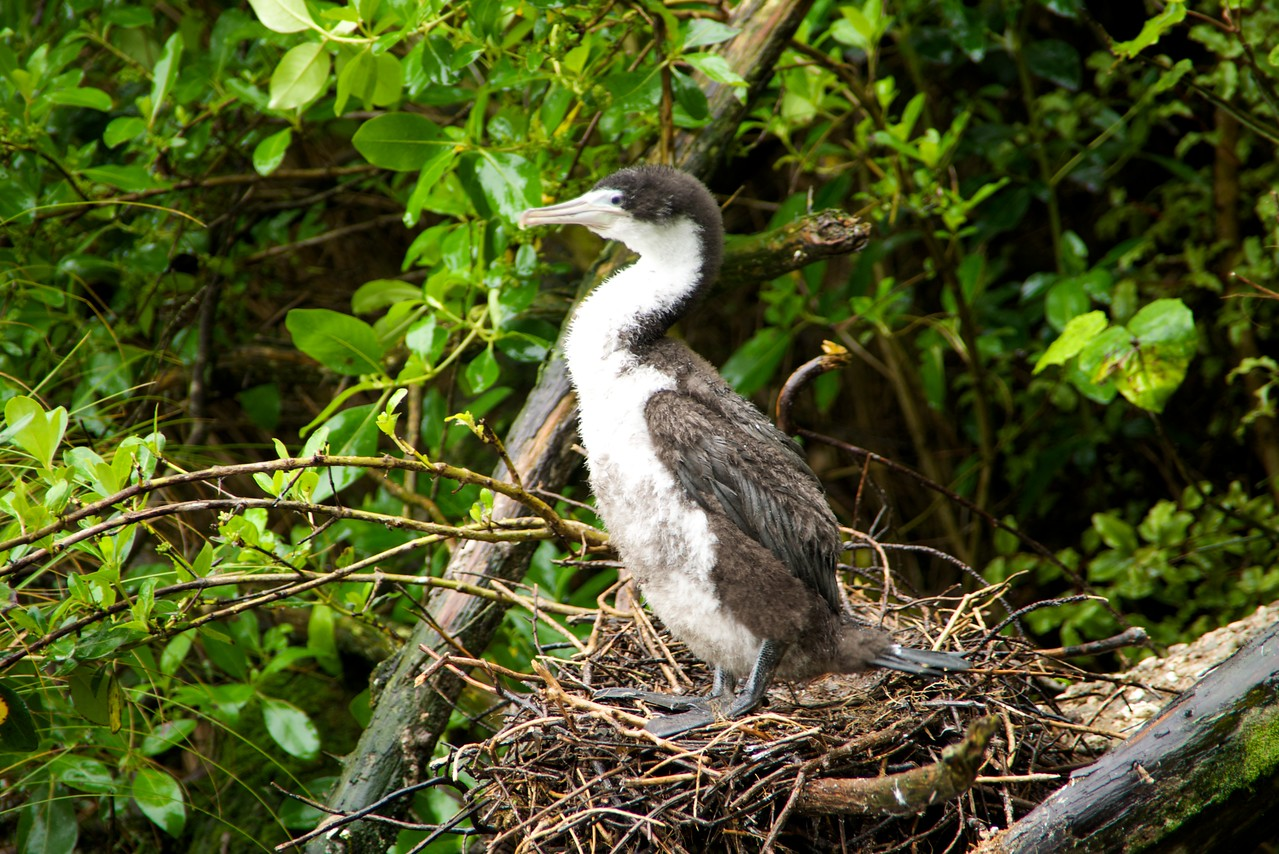 5 Week Old Shag Chick