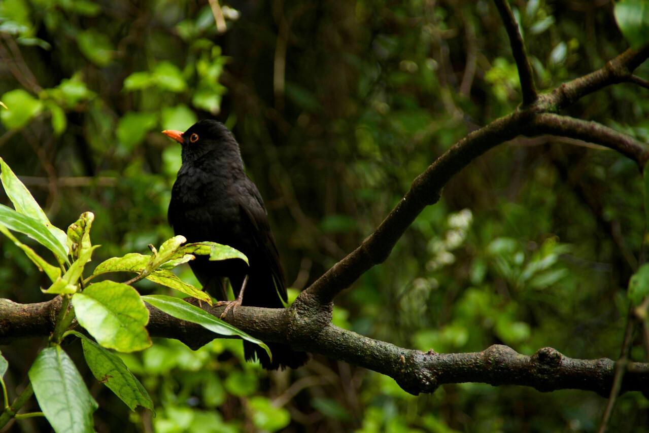 Male European Blackbird