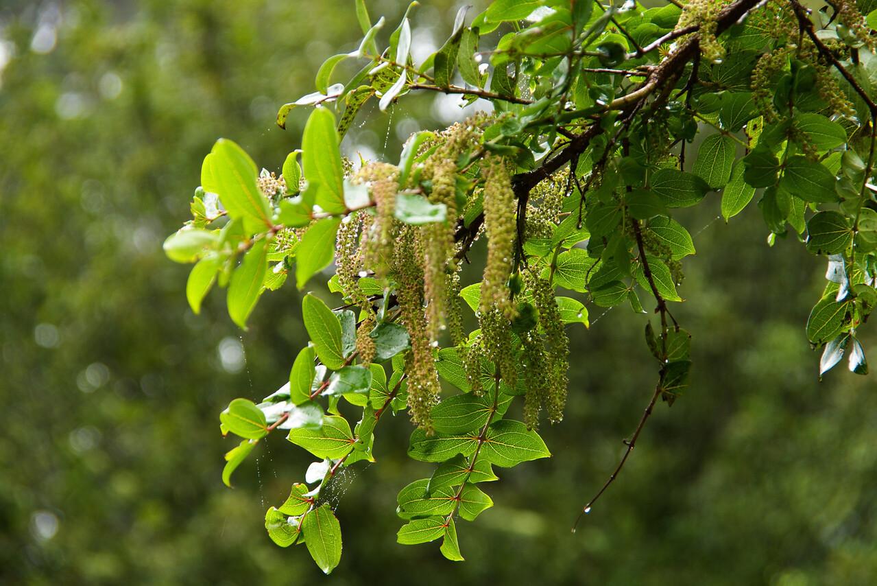 Poisenous Tree