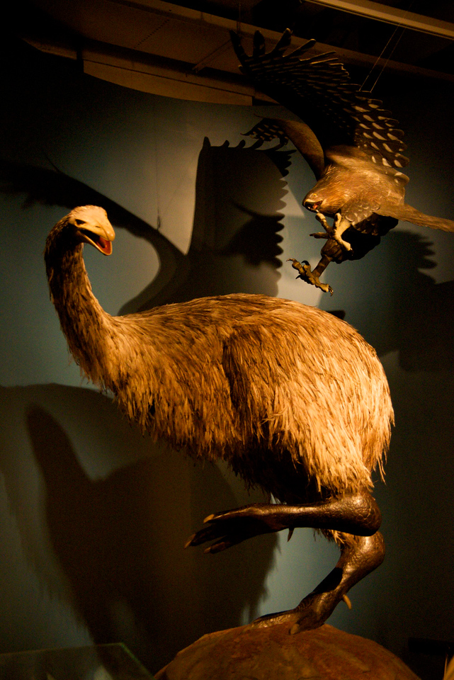 Giant Moa (Flightless Bird)-Hunted to Extinction By Maori