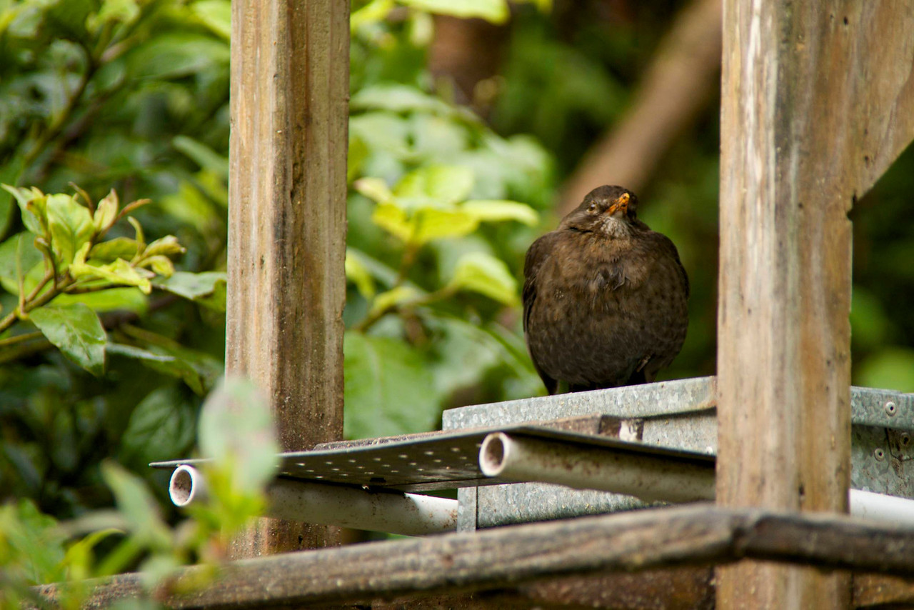 Female European Blackbird-Reproduction Coloration