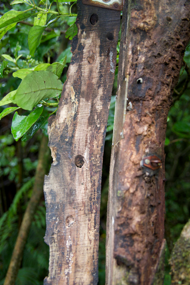 Puriri Caterpillar Moth Holes-Caterpillar Lives in The Tree For 2 Years Before Emerging As Moths