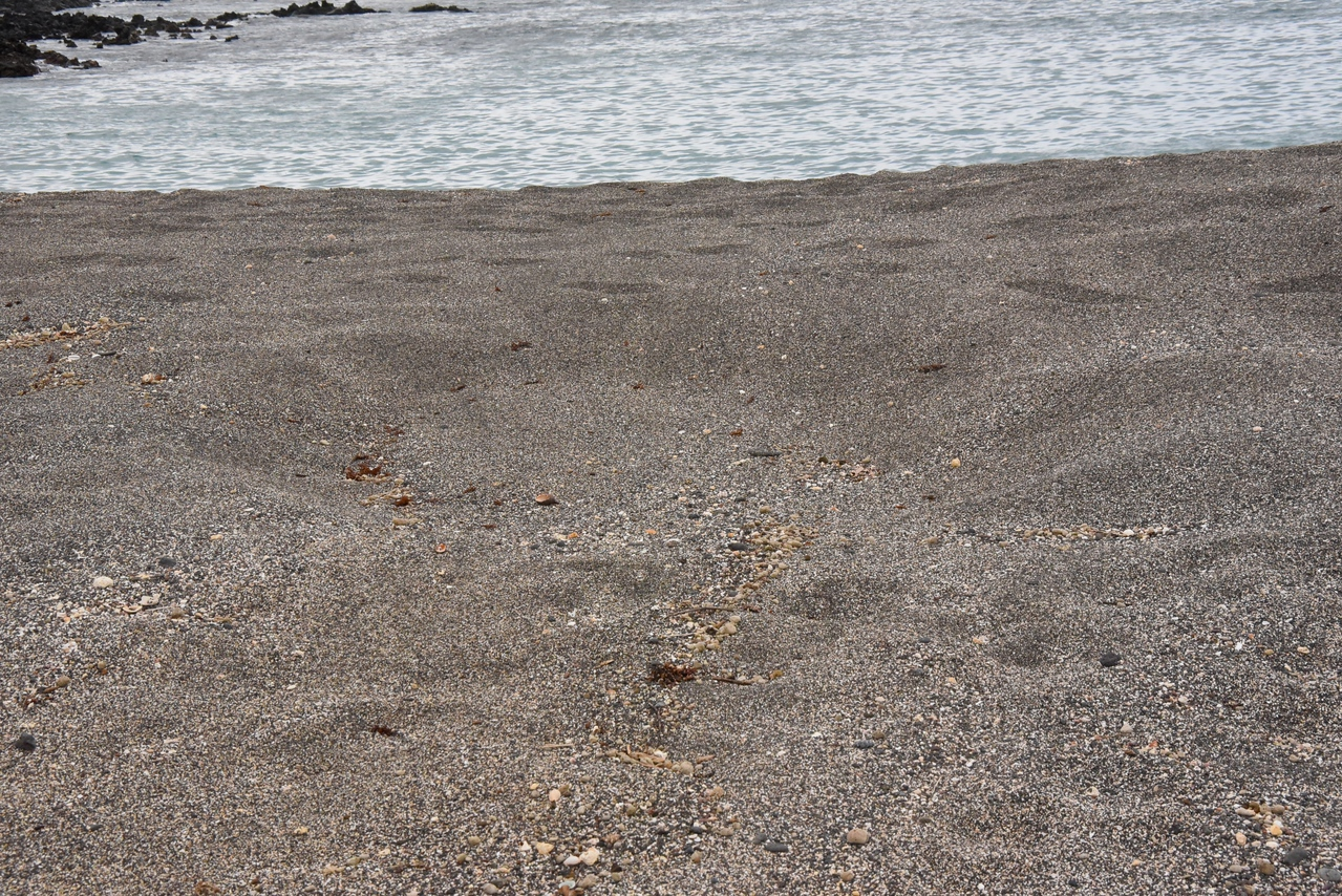 Sea Turtle laid eggs here. Can see the outline of the turtle in the sand.