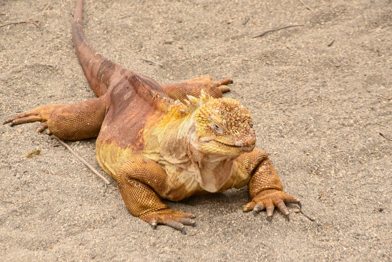 """Goodbye and Good Riddance""... last Yellow Iguana we saw as we left Urbina Bay."