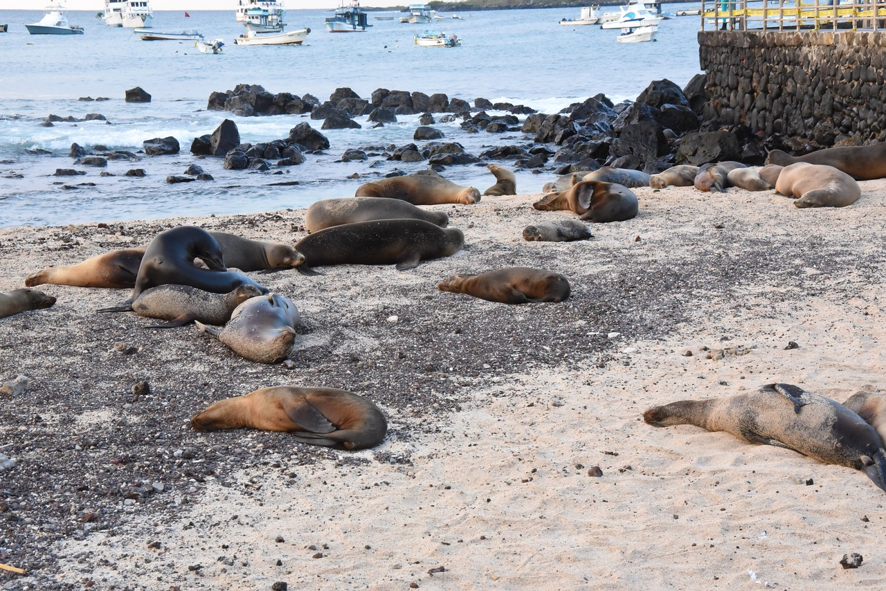 Sea Lions on the San Cristobal beach area in the downtown area.