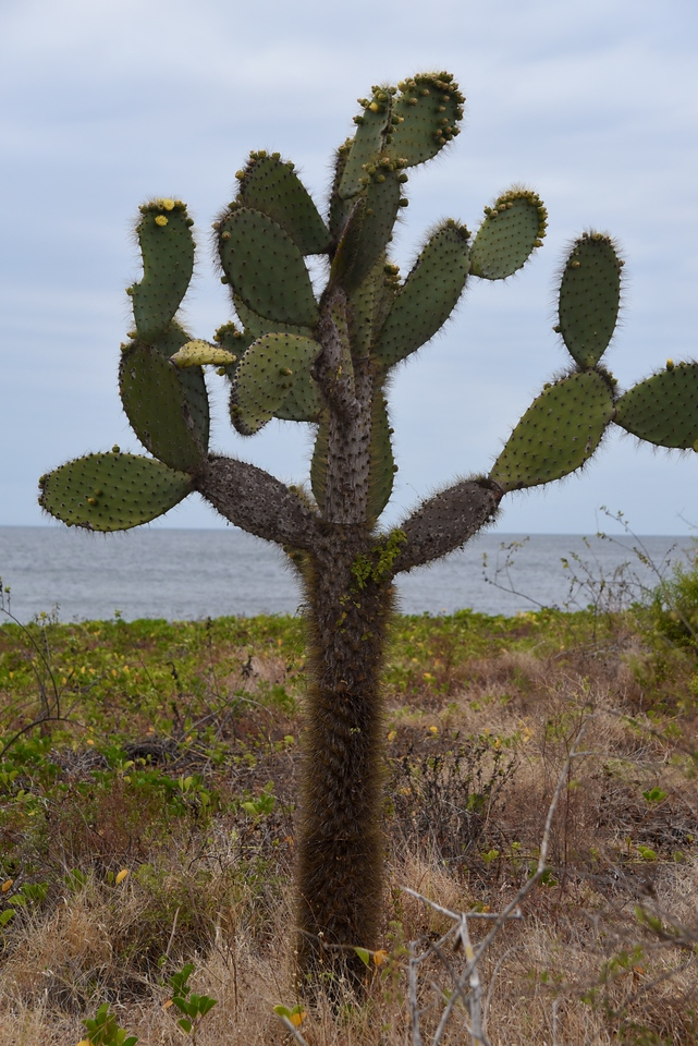 Cactus is beginning to blossom with yellow flowers. It is Spring in Galapagos.