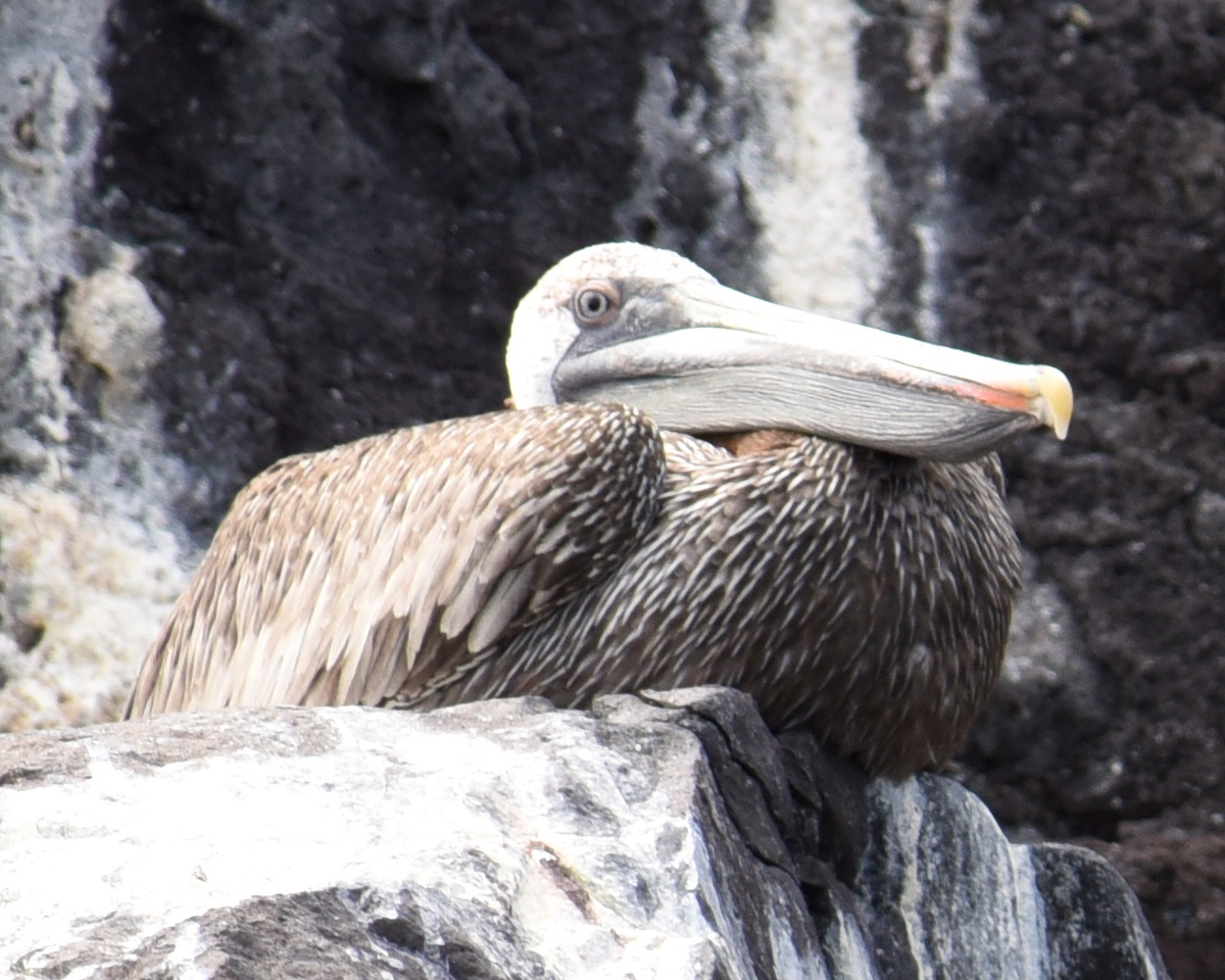 An old Brown Pelican. As a bird ages it's feathers loose their lustre.