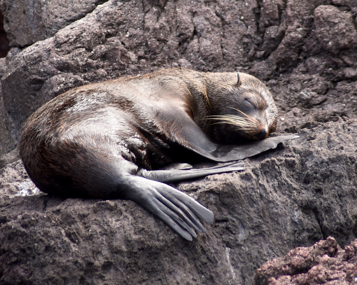 Fur Seal sleeping on the cliff rocks.
